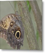 Captivating Photo Of A Brown Morpho Butterfly Metal Print