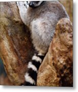 Captive Ring Tailed Lemur Perched In A Stone Tree Metal Print