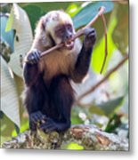 Capuchin Monkey Chewing On A Stick Metal Print