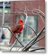 Cardinal Amid The Twigs Metal Print