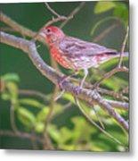 Cardinal Bird In The Wild In South Carolina Metal Print