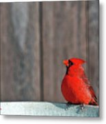 Cardinal Drinking Metal Print