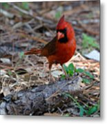 Cardinal In Charge Metal Print by Julie Cameron