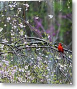 Cardinal In Flowering Tree Metal Print