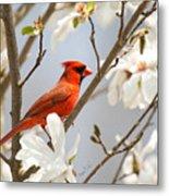 Cardinal In Magnolia Metal Print