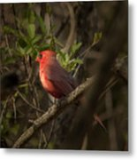 Cardinal In The Spotlight Metal Print