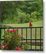 Cardinal On Fence Metal Print