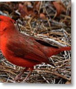 Cardinal On Pine Straw Metal Print