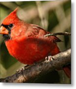 Cardinal Up Close Metal Print