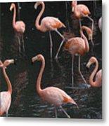 Caribbean Flamingoes At The Sedgwick Metal Print by Joel Sartore
