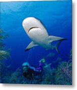 Caribbean Reef Shark Metal Print by Dave Fleetham - Printscapes