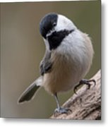 Carolina Chickadee 2 Metal Print