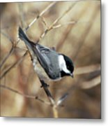 Carolina Chickadee - Birds At Bisset Park Metal Print
