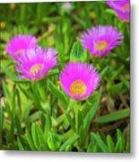 Carpobrotus Edulis Pink Ice Plant Metal Print