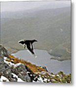 Carrawong In Flight Over Cradle Mountain Metal Print