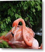Carribean Flamingo Bird Ruffling His Feathers Metal Print