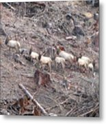 Cascade Elk Metal Print