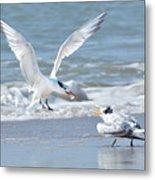 Caspian Tern Feeding Young Metal Print