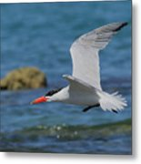 Caspian Tern Metal Print by Tony Brown