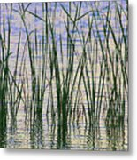 Cattails In The Lake Metal Print