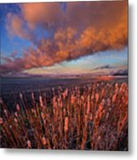 Cattails In The Wind Metal Print