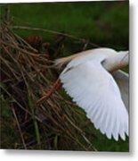 Cattle Egret Begins Flight With Nest Materials - Digitalart Metal Print
