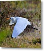 Cattle Egret In Flight Metal Print