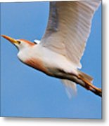 Cattle Egret On The Wing Metal Print
