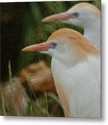 Cattle Egrets Dry Brushed Metal Print