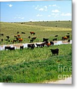 Cattle Graze On Reclaimed Land Metal Print