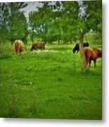 Cattle Grazing In A Lush Pasture Metal Print