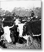 Cattle: Longhorns Metal Print