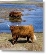 Cattle Scottish Highlanders, Zuid Kennemerland, Netherlands Metal Print