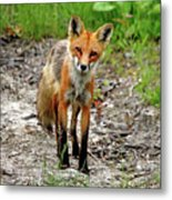 Cautious But Curious Red Fox Portrait Metal Print