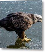 Cautious Eagle Metal Print