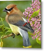 Cedar Waxwing On Lilac Metal Print by Karen Coombes