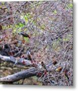 Cedar Waxwings Feeding 2 Metal Print