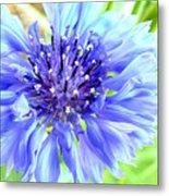 Centaurea Cyanus 1 Metal Print