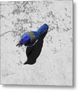 Center Of Attention- Scrub Jay Metal Print