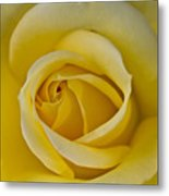 Centered Beautiful Yellow Rose Metal Print