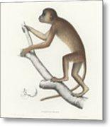 Central Yellow Baboon, Papio C. Cynocephalus Metal Print