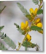 Chamaecrista Fasciculata Sleeping Plant Partridge Pea Metal Print
