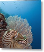 Chambered Nautilus Metal Print by Dave Fleetham - Printscapes