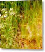 Chamomile In The Sunny Meadow Metal Print