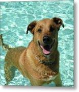 Charlie In Pool Metal Print