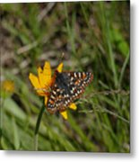 Checkerspot On Bahai Aster 4 Metal Print