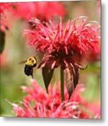 Checking The Bee Balm  Metal Print