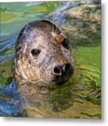 Cheeky Seal At Gweek Metal Print