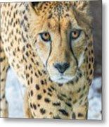 Cheeta Up Close Metal Print