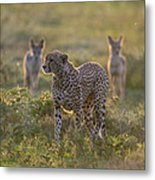 Cheetah Acinonyx Jubatus And Jackals Metal Print
